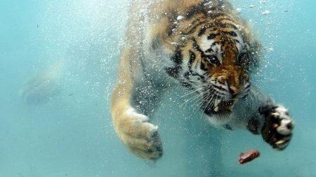 tiger, underwater, hunting