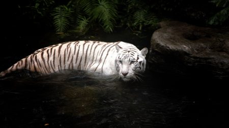 tiger, water, swimming