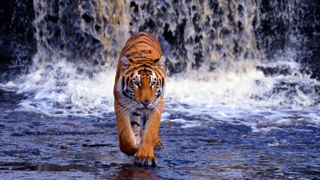 tiger, waterfall, walk