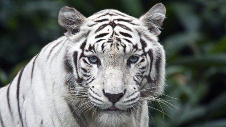 tiger, white, striped