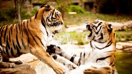 tigers, couple, fighting