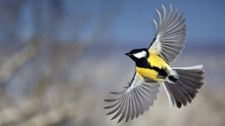 tit, bird, flying