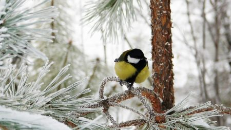 titmouse, bird, winter