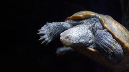 tortoise, shell, darker