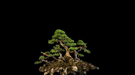 tree, bonsai, black background