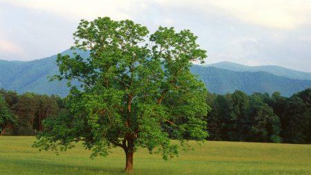 tree, field, lonely