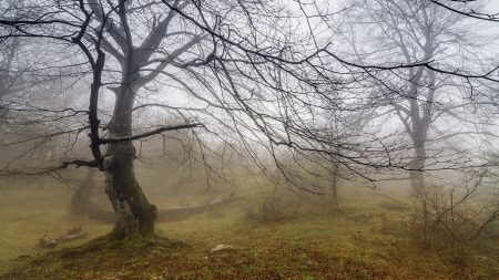 tree, fog, branches