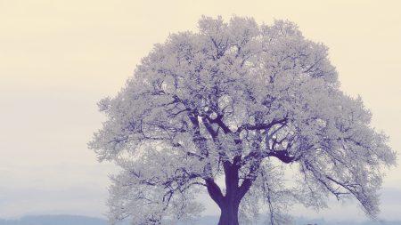 tree, frost, fog