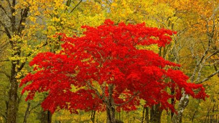 tree, red, autumn