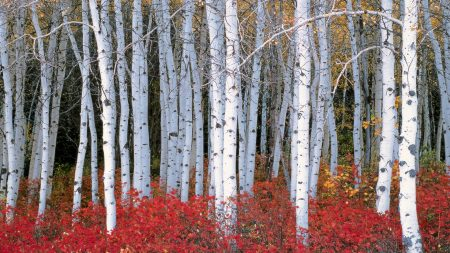 trees, birch, nature