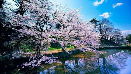 trees, bloom, sky