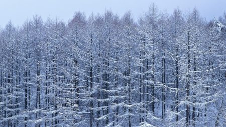 trees, branches, snow