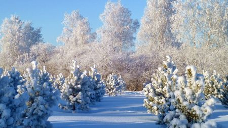 trees, hoarfrost, fir-trees
