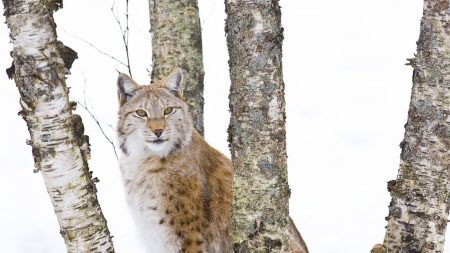 trees, lynx, snow
