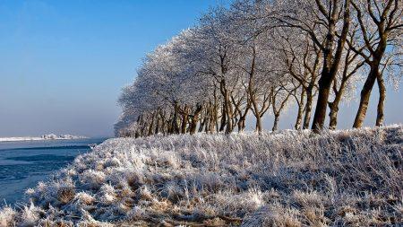 trees, row, hoarfrost