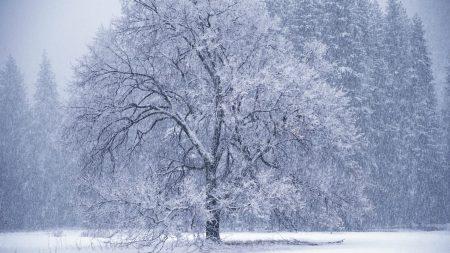 trees, snowfall, winter