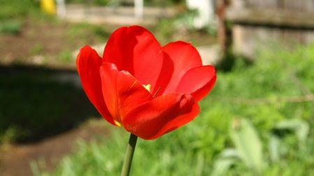 tulip, flower, dissolved