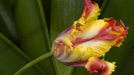 tulip, flower, leaves