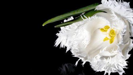 tulip, flower, white