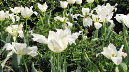 tulip, flowers, white