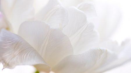 tulip, petals, flower