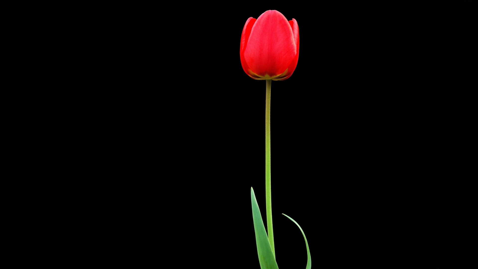 Download Wallpaper 1920x1080 Tulip Red Flower One Black