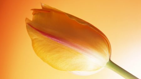 tulip, stem, bud