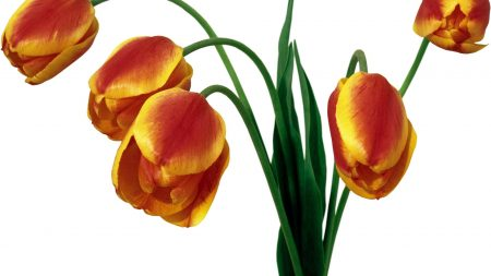 tulips, bouquet, drooping