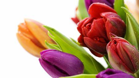 tulips, bouquet, drops
