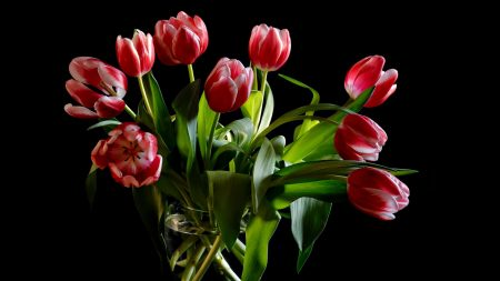 tulips, bouquet, loose