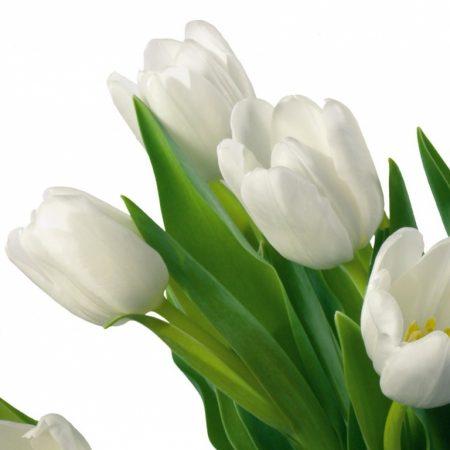 tulips, bouquet, white