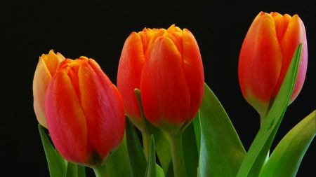 tulips, buds, red