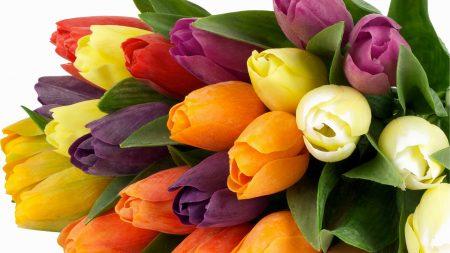 tulips, bunch, bright
