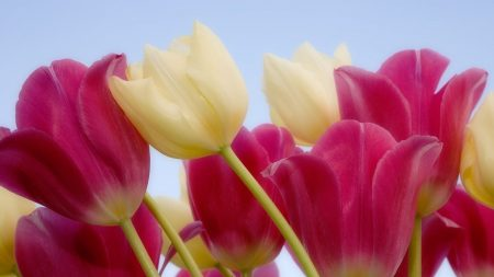 tulips, colorful, sky