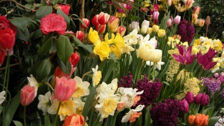 tulips, daffodils, hyacinths