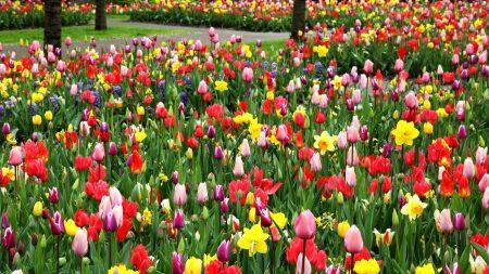 tulips, daffodils, park