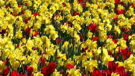 tulips, daffodils, sunny