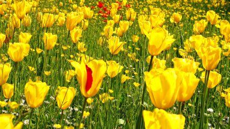 tulips, daisies, dandelions