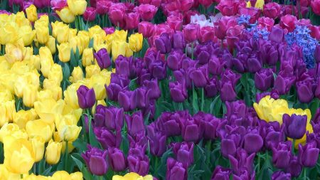 tulips, different, colors