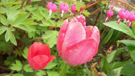 tulips, ditsentra, herbs