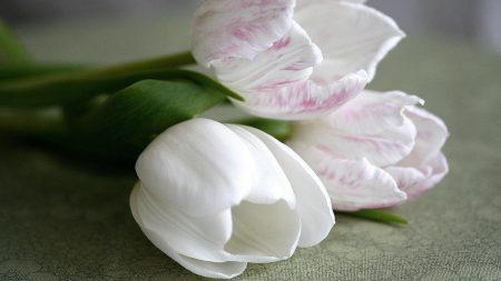 tulips, flower, three