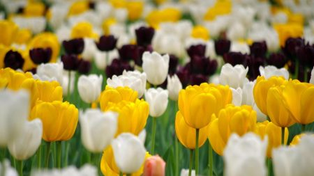 tulips, flowerbed, spring