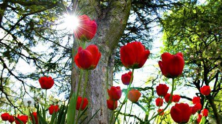 tulips, flowerbed, sun