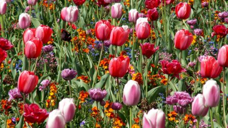tulips, flowers, bed