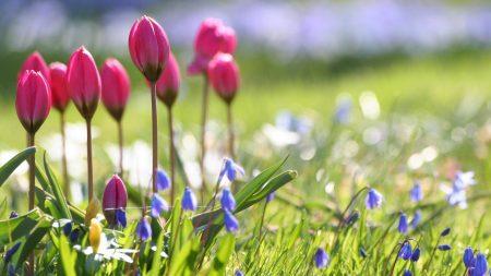 tulips, flowers, bells