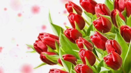 tulips, flowers, bouquet