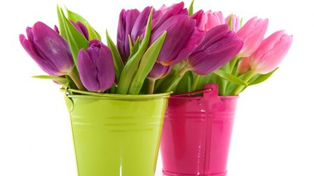 tulips, flowers, buckets