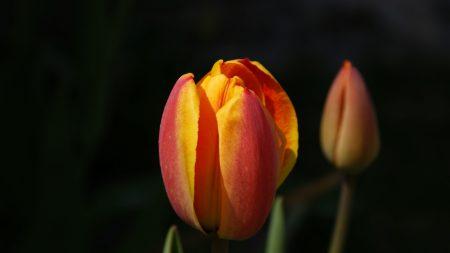 tulips, flowers, bud