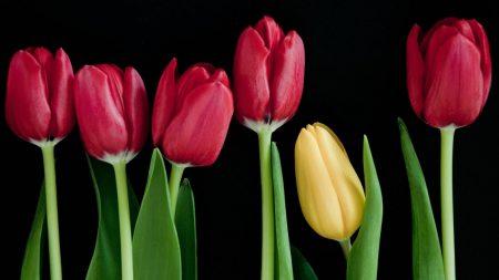 tulips, flowers, buds