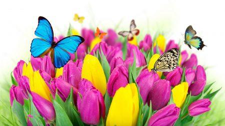 tulips, flowers, butterflies